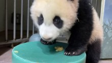 #PandaStory: Xiao Qi Ji's First Taste of Applesauce