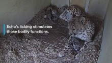 Echo gives her cheetah cubs a bath!