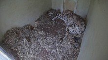 Cheetah cub sneeze!