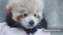 Red Panda Cub Weighs 3 Pounds