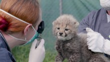 Cheetah mom Echo's cubs receive their first veterinary exam