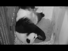 #PandaStory: Cub Day 3
