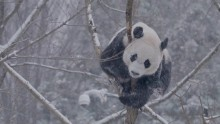 Giant pandas in the snow Feb. 20, 2019