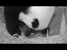 #PandaStory: Cub Day 2 (Aug. 23, 2020)
