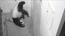 #PandaStory: Upside-Down Xiao Qi Ji