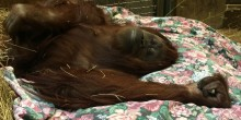 Orangutan Iris in a nest