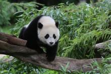 Giant panda Bao Bao climbs over a tree branch