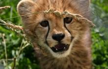 Cheetah cub Nandi.
