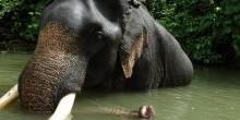 Asian elephant in the water in Myanmar