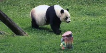 "Giant panda Mei Xiang eats a ""rainbow"" cake in honor of Pride 2020 at the Smithsonian's National Zoo's Asia Trail habitat."