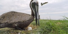 Brown pelican sitting on nest in the Chesapeake Bay.
