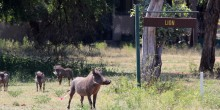 Warthog in South Africa