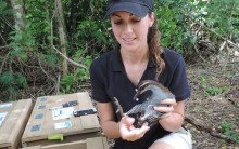 Animal keeper Erica Royer kneels next to a wooden create and holds a Guam rail, as she gets ready to release the bird into the wild