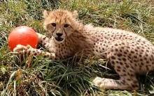 A cheetah cub laying in the grass with a red ball