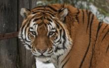 Amur tiger Pavol