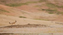 Reintroduced swift fox on grasslands of Montana
