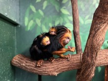 an adult golden-headed lion tamarin sits on a branch. two babies cling to her back.