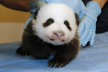 panda cub on table facing forward