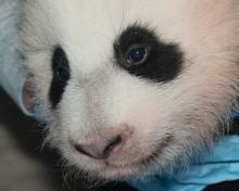 panda cub face