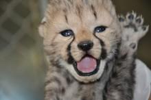 A newborn cheetah cub waves its paw