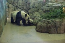 Mei Xiang, the Giant Panda, helps her cub Bao Bao climb up on some rocks inside their habitat