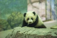 panda cub atop a rock