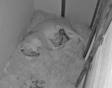 lion with newborn cubs