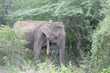 An Asian elephant wearing a GPS satellite collar in a forest in Myanmar