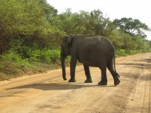 An Asian elephant crossing an unpaved road in Myanmar