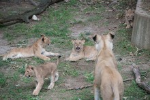 lion cubs frolicking