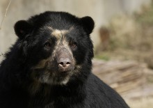 Closeup of an adult Andean Bear
