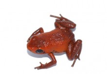 tiny red frog