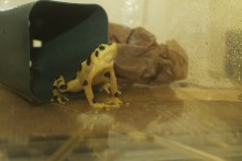 golden frog in water