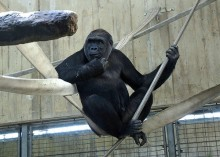 gorilla on swing