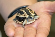 tiny tortoise in the palm of a hand