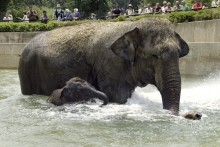 Asian elephant Shanthi and her son, Kandula, swim in a pool at the Smithsonian's National Zoo.(Year: 2002)