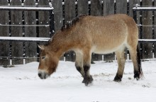 Rose Marie, a Przewalski's horse at the Smithsonian's National Zoo