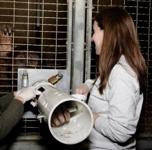 Zoo veterinarians obtain a blood sample from an orangutan.