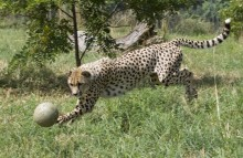 Cheetah interacting with enrichment