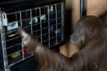 Orangutan Iris interacting with enrichment