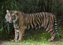 Adult female Sumatran tiger
