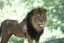 A male African lion with a thick mane stands at the Smithsonian's National Zoo
