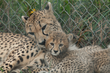 Cheetah Amani with one of her cubs in 2011 at the Smithsonian Conservation Biology Institute.