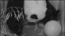Bao Bao's birth