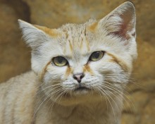 Sand cat Thor lived at the Small Mammal House.
