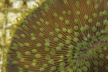 Adult mushroom coral.