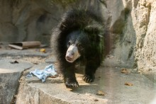 Sloth bear Remi explores her habitat on Asia Trail.