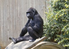 Western lowland gorilla Calaya in the Great Ape House outdoor habitat.