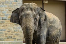 Asian elephant Shanthi at the Smithsonian's National Zoo.