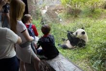 Bao Bao eats bamboo at the Smithsonian's National Zoo.